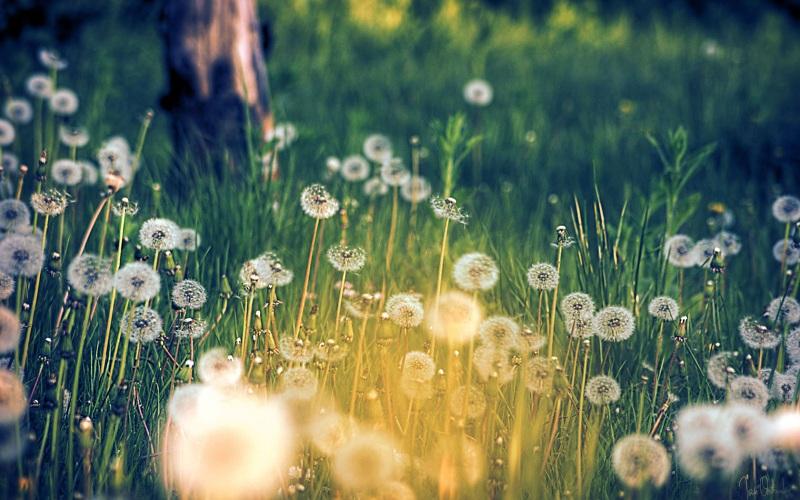 Hoa bồ công anh - loài hoa của điều ước